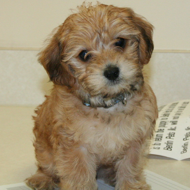 Yorkie Poos For Sale In Chicago   Dog Breeds Picture