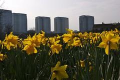 Daffodil Towers