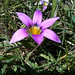 rosy sandcrocus - Photo (c) chuck b, some rights reserved (CC BY)