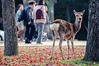 Sika Deer in Nara Park (奈良公園) Japan by TOTORORO.RORO
