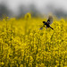 European Stonechat over the Rapeseed Field         (Saxicola rubicola) Cigánycsuk