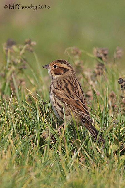 Little Bunting (M.Goodey)(