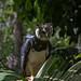 Small photo of Harpy Eagle (Harpia harpyja)