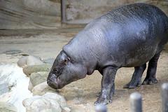 Pygmy Hippopotamus - 06