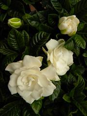 shrub(0.0), rosa 㗠centifolia(0.0), garden roses(1.0), floribunda(1.0), flower(1.0), yellow(1.0), plant(1.0), flora(1.0), gardenia(1.0), floristry(1.0), petal(1.0),