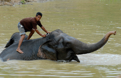 Mahout Washing an Ele