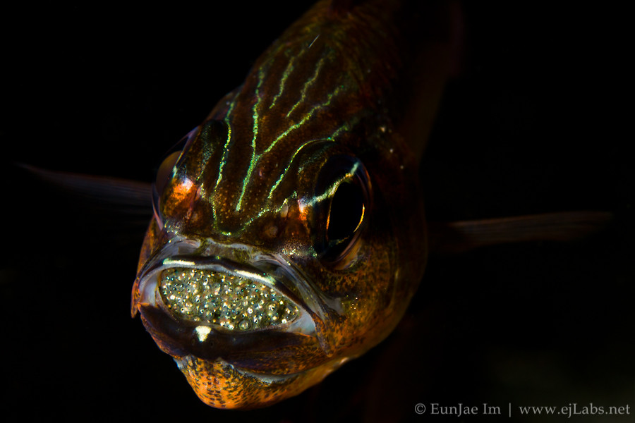Cardinal Fish mouth brooding
