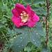 Rosa pendulina (John Willsher)