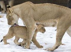 Smithsonian's National Zoo's Lion Cubs Are Growing!
