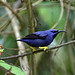 Male Purple Honeycreeper (Peter Dunn)