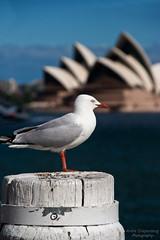 Bird observing Opera House
