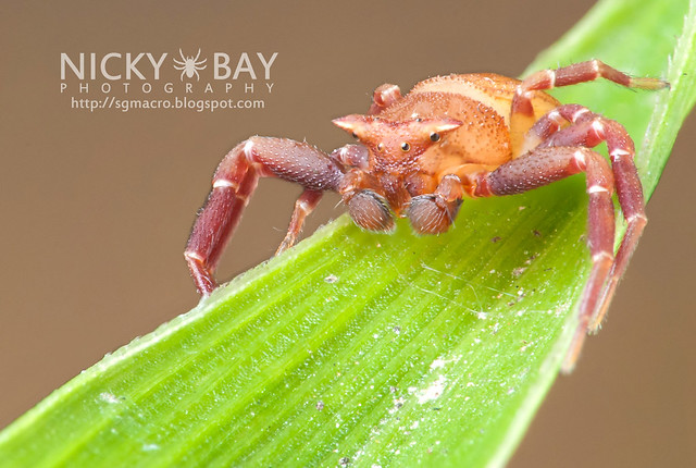 Male Crab Spider