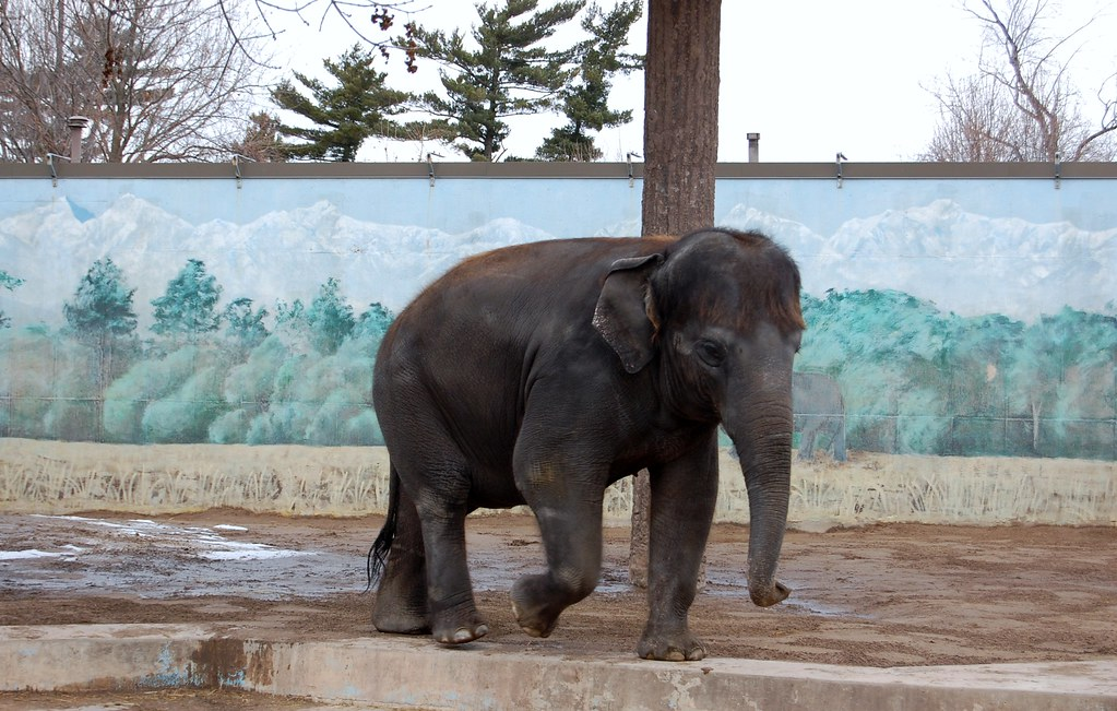 Asian  Elephant  -  Burnet  Park  Zoo