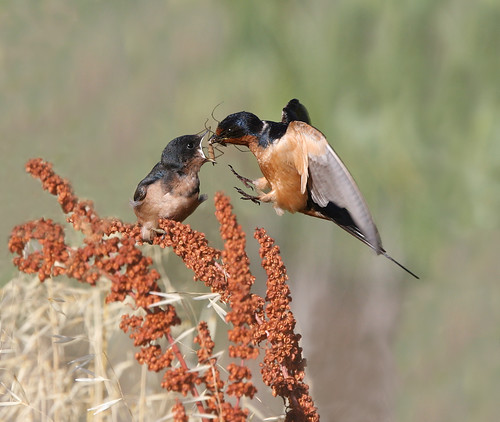 Cliff Swallow feeding a baby