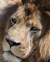 roar(0.0), nose(1.0), animal(1.0), mane(1.0), big cats(1.0), masai lion(1.0), lion(1.0), snout(1.0), mammal(1.0), fauna(1.0), close-up(1.0), whiskers(1.0), safari(1.0), wildlife(1.0),