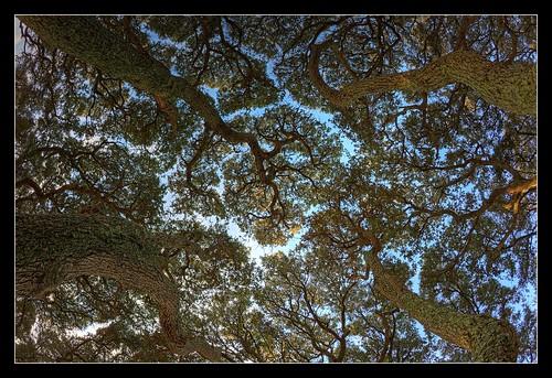 trees beach canon coast nc northcarolina fisheye hdr fortfisher topaz liveoaks photomatix tonemapped 5dii