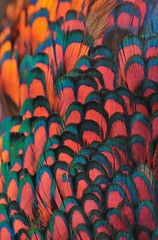 Plumage, blue and red
