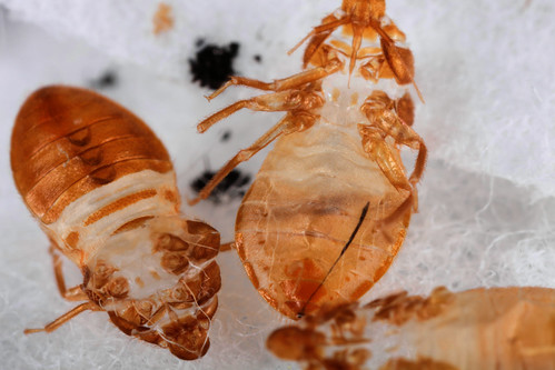 close-ups of 3 shed skins of 5th instar bed bug nymphs