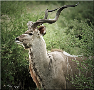 the Kudu man