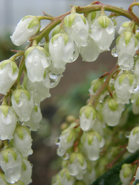 pieris japonica flowers