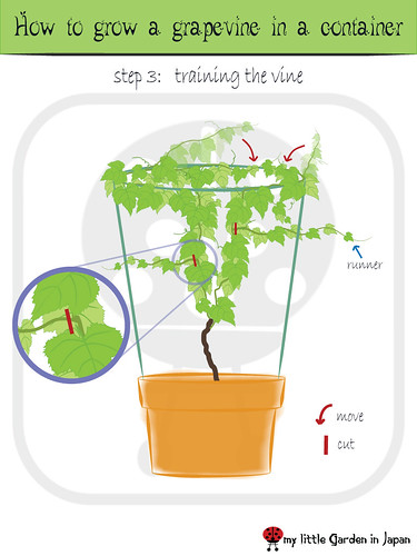 My little garden in japan how to grow a grape vine in a container - How to prune and train the grapevine ...
