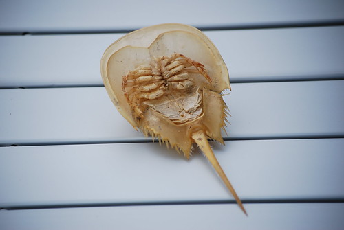 -Horseshoe Crab-