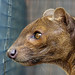 Fossa staring out its cage