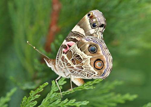 lady butterfly painted northcarolina american picnik richmondcounty vanessavirginiensis americanpaintedlady