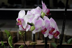 blossom(0.0), cattleya labiata(0.0), laelia(0.0), cattleya trianae(0.0), flower(1.0), purple(1.0), plant(1.0), orchid family(1.0), macro photography(1.0), flora(1.0), pink(1.0),