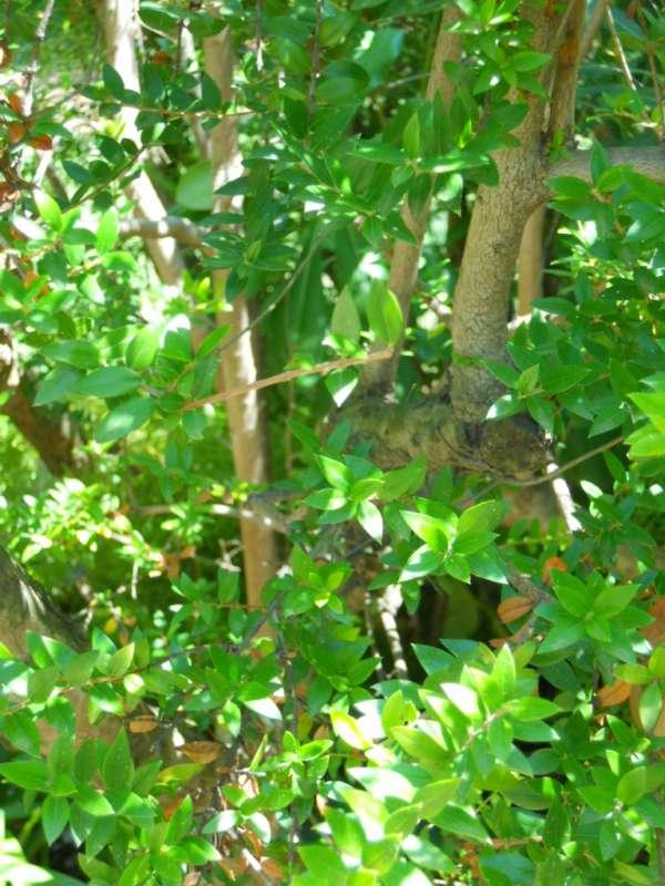 Myrtus communis 'Microphylla' v 2