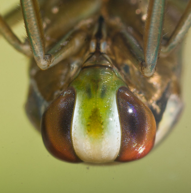 backswimmer close up