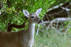 The endangered Key deer