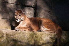 cougar, animal, big cats, zoo, mammal, fauna, puma, whiskers,
