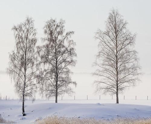 trees winter mist snow frost sweden birch sverige östergötland sigma70300mmf456apodgmacro canoneos7d