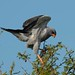 Dark Chanting Goshawk (David Mercer)