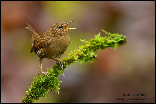 Elección de su pájaro: Las mejores aves para principiantes - maniquíes
