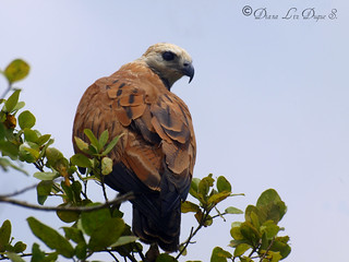 Black-collared Hawk / Busarellus nigricollis
