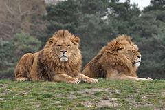 animal, mane, big cats, masai lion, lion, mammal, fauna, savanna, grassland, safari, wildlife,
