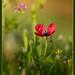La reina de la primavera (amapola híbrida, papaver hybridum)