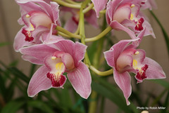 cattleya labiata(0.0), plant(0.0), cattleya trianae(0.0), flower(1.0), laelia(1.0), phalaenopsis equestris(1.0), flora(1.0), moth orchid(1.0), pink(1.0), petal(1.0),