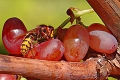 Hornet and grapes - Frelon et raisins