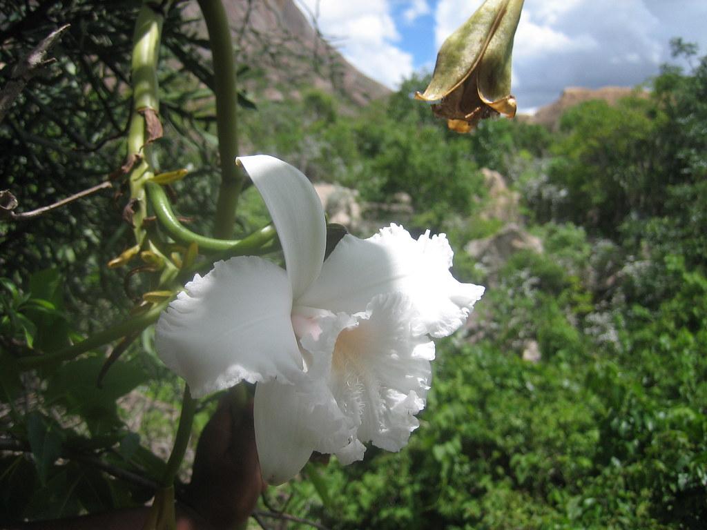 Vanilla's flower (Anja Reserve)