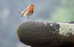 Robin on the demolished bridge Robert's Park