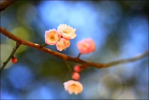 In the depth of winter season these delicate plum blossoms speak ...