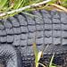 American Alligator (Alligator mississippiensis) on Anhinga Trail