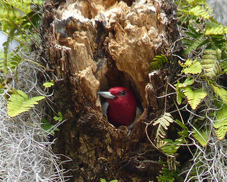 safe yet - Red Headed Woodpecker