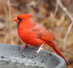 Cardinal Backyard Birds
