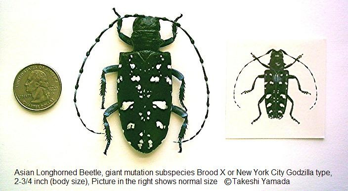 Giant Asian Longhorn Beetle (Brood X, New York City Gozilla type)