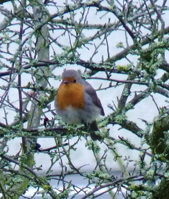 Robin in garden