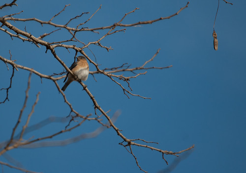 Eastern Bluebird from Below